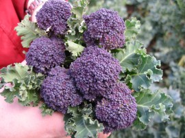 Poze Broccoli Summer Purple
