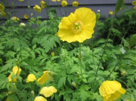 Poze Mac Meconopsis Cambrica Yellow