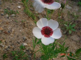 Poze Linum grandiflorum Bright Eyes-In decorativ alb