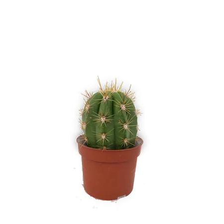 Cum udam cactusii si suculentele
