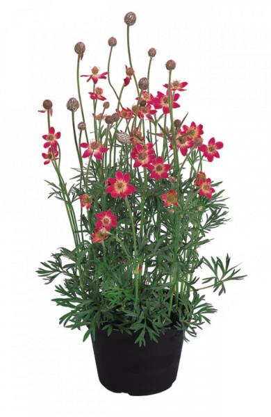 Anemone multifida Annabella Deep Rose P10.5cm