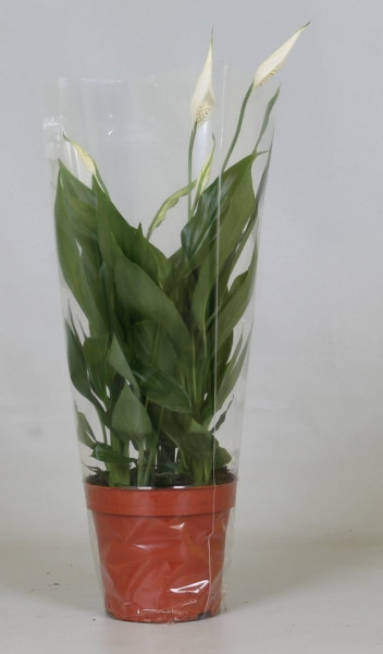 Spathiphyllum 'Alana' crin