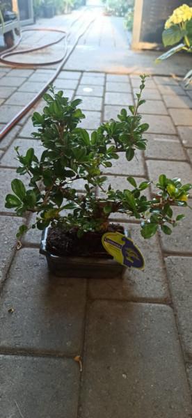 Bonsai Carmona retusa (P15)