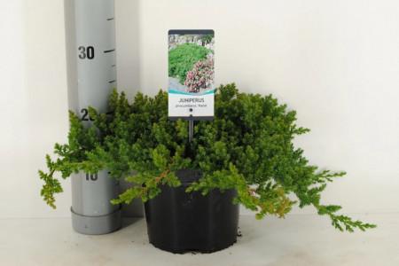 Juniperus proc. 'Nana' C3/P19 25-30 CM