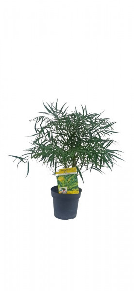 Mahonia eurybracteata
