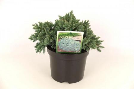 Juniperus squa. 'Blue Star'