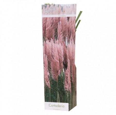 iarba-de-pampas-roz