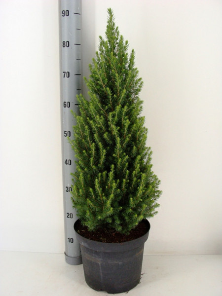 Picea gl. 'Perfecta'