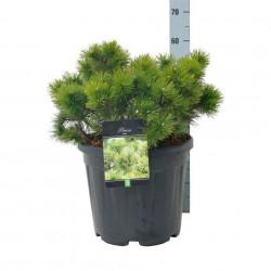 Pinus mugo C7,5/P26 30-40 CM
