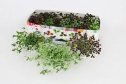 Trifolium repens - trifoi decorativP10 H15