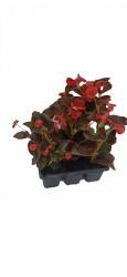 Begonia semperflorens - flori de gheata pachet 6 buc