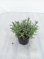 Lavandula angustifolium Hidcote Blue