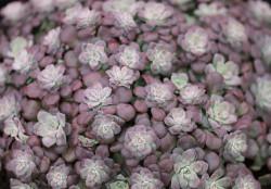Sedum spathulifolium Purpureum P10,5xm