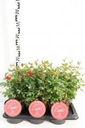 Trandafir Rosa 'Zepeti' C2/P17 25-30 CM