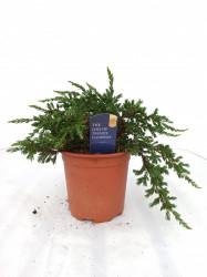 Juniperus tarator