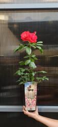 Trandafir Mix Miniature Groundcovering C1,5/P15