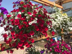 Jardiniera 80cm plantata cu 5 petunii curgatoare