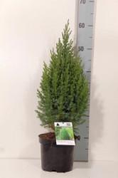 Juniperus chin. 'Stricta' C2/P17 25-30 CM