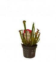 Sarracenia - planta carnivora - atrage si elimina mustele