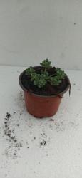 Sedum spathulifolium Cape Blanco P10,5xm