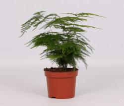 Asparagus setaceus P12 H28cm