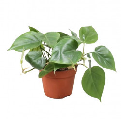 Philodendron scandens P13 H25-35cm