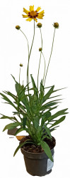 Coreopsis Grandiflora P10,5cm PERENA