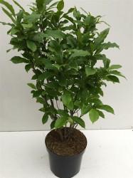 Magnolia `George Henry Kern' C10 70-80 CM