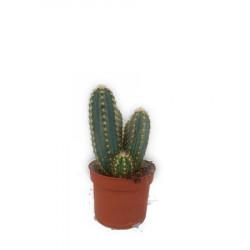 Mix 3 cactusi