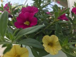 Jardiniera 80cm plantata cu 5 calibrachoa