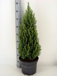 Picea gl. 'Perfecta' C7,5/P26 60-70 CM