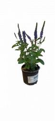 Verobica Blue P10,5cm PERENA