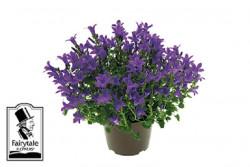 Campanula portenschlagiana BLUE h20cm