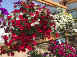 Jardiniera 60cm plantata cu 4 petunii curgatoare