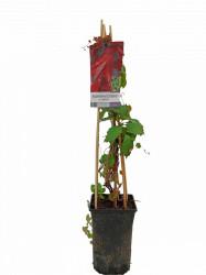Parthenocissus tricuspidata - Vita de vie Canadiana
