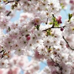 Fototapet vlies cu flori de cires Primavara