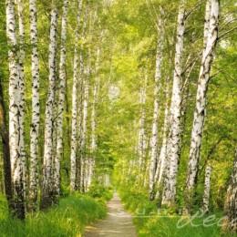 Fototapet peisaj padure Printre mesteceni 368 x 254 cm