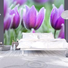 Fototapet - Purple spring tulips
