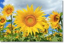 Tablou floarea soarelui 01