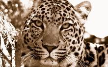 Tablou leopard 009