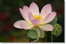 Tablou lotus 06