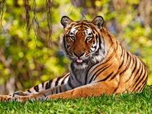 Tablou tigru 008