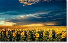 Tablou floarea soarelui 08