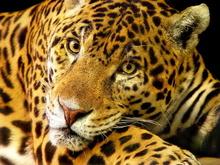 Tablou leopard 006