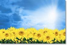 Tablou floarea soarelui 05