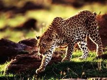 Tablou leopard 003