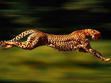 Tablou leopard 013