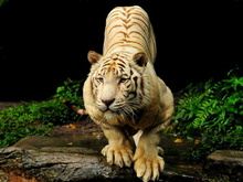 Tablou tigru 012
