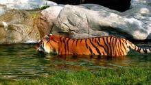 Tablou tigru 009