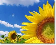 Tablou floarea soarelui 09